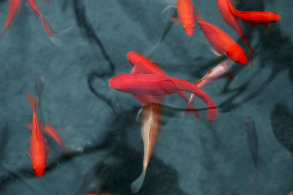Vissen In Vijver : Vissen en vijver p van de wouw dierenvoeders